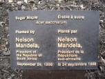 L'érable de Nelson Mandela, dit Madiba