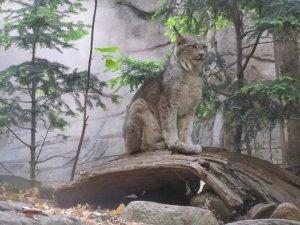 Le lynx du Canada, roi du Biodôme