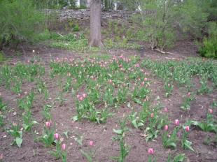 Où sont les tulipes ?
