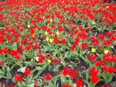 Le miracle des tulipes