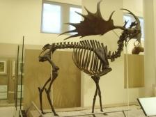 Ancêtre des caribous et compagnie