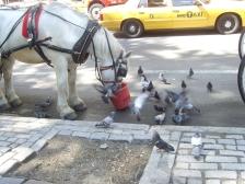 Pigeons VS cheval