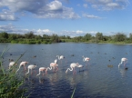 Flamants roses Camargue