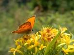 Papillon - TMB