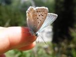 polyommatus lysandra bellargus