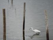 Aigrette garzette Réserve du Teich