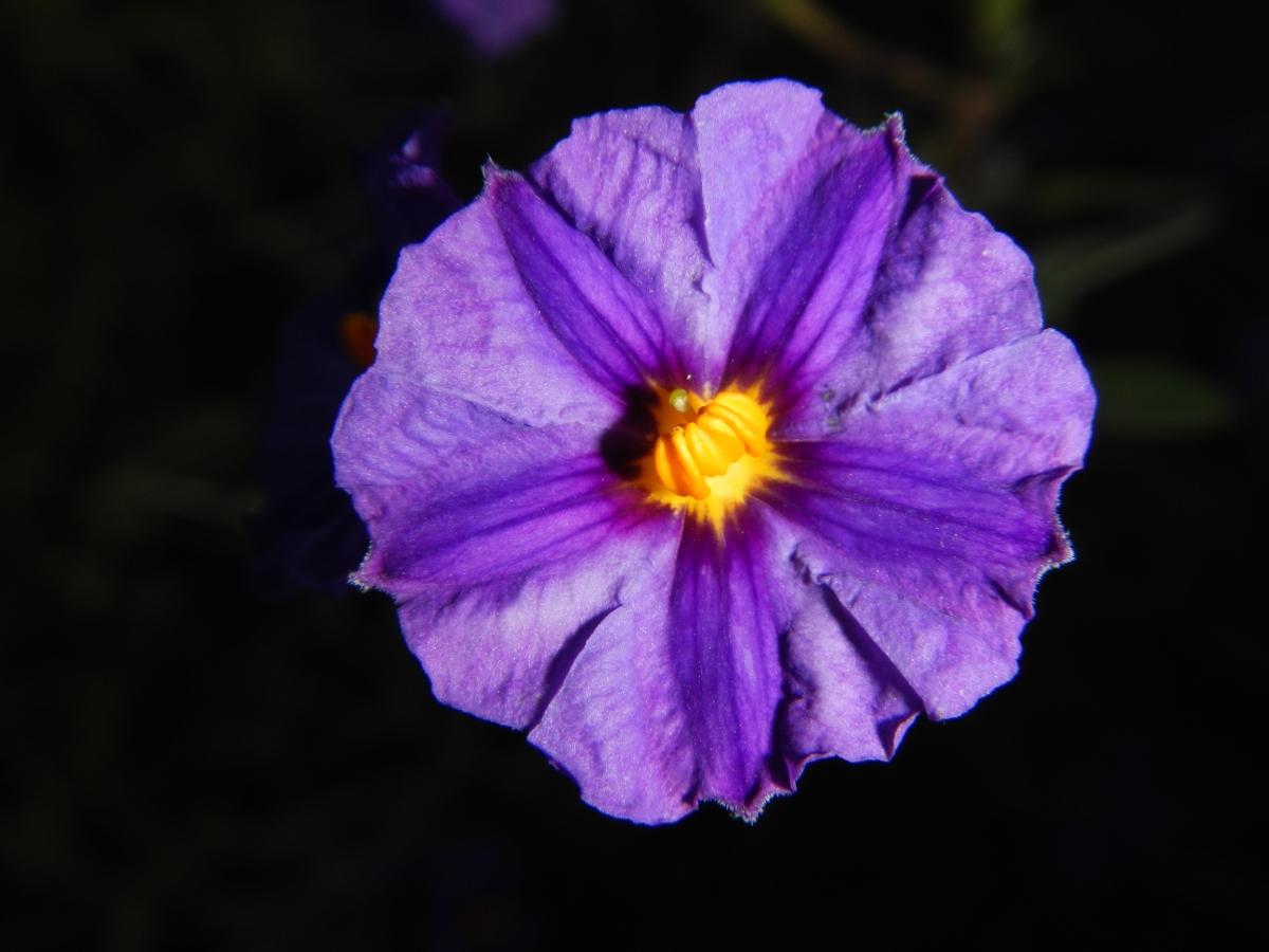 Fleur violette Castillo Gibralfaro
