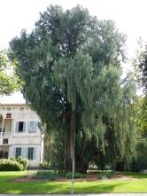 Cyprès du Cachemire 150 ans Isola Madre Borromée