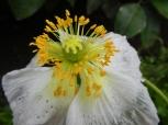 Fleur jardin anglais exotique Isola Bella