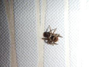 araignee-spider