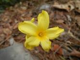 fleur-jaune-montagne-cangshan