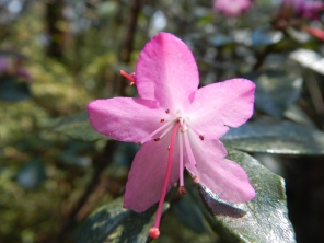 fleur-rose-montagne-cangshan