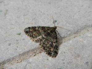papillon-montagne-cangshan