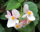 fleur-guadeloupe