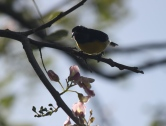 Oiseau nectar