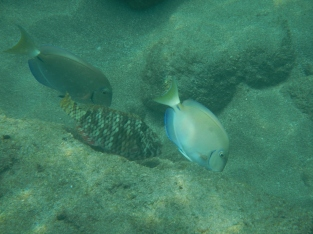 Snorkeling poissons