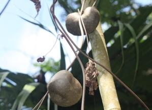 Pomme de l'air